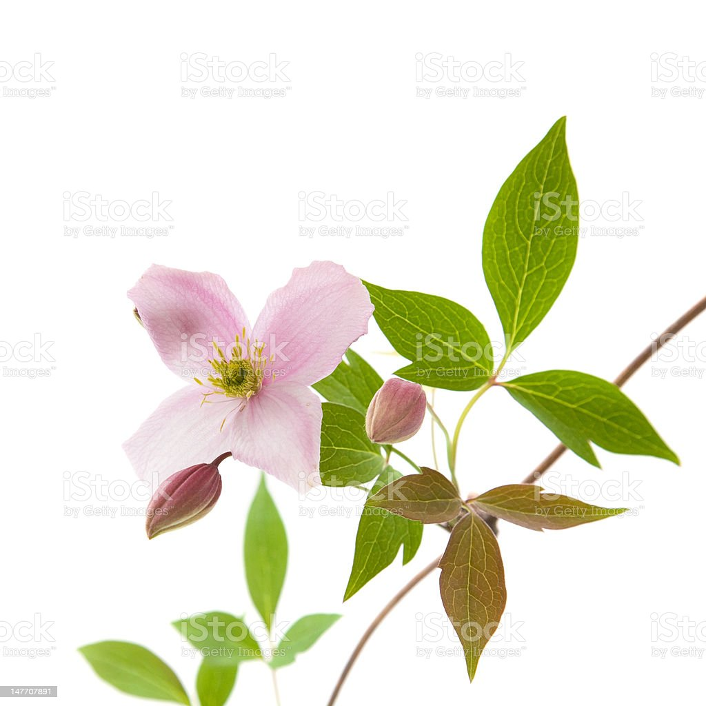 pale pink clematis royalty-free stock photo
