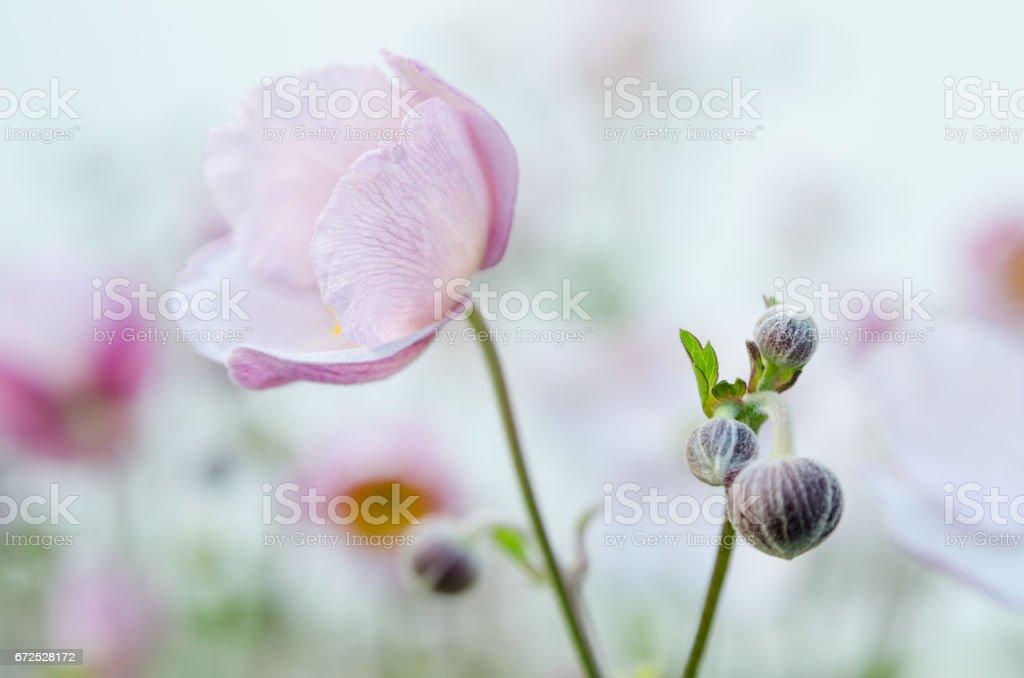 Japanische Anemone blass rosa Blume – Foto