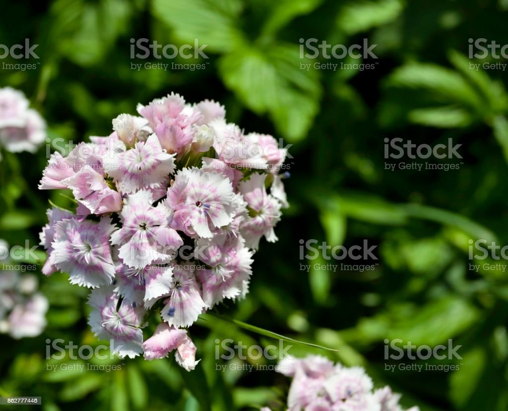 pale pink flowers Turkish carnation stock photo