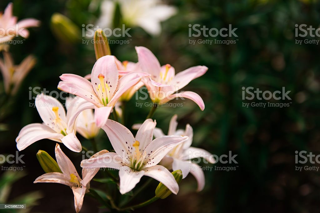 Pale Pink Liliespale Pink Lily Background Stock Photo Download