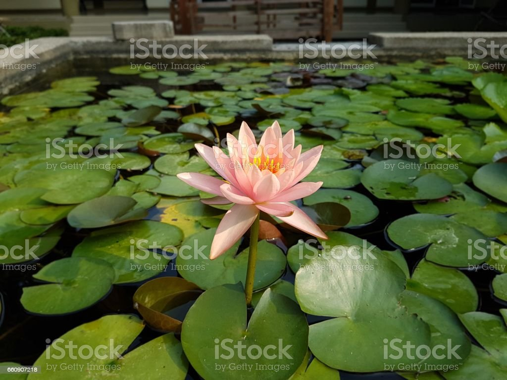 Pale pink Lotus flowers on the surface of the pond stock photo