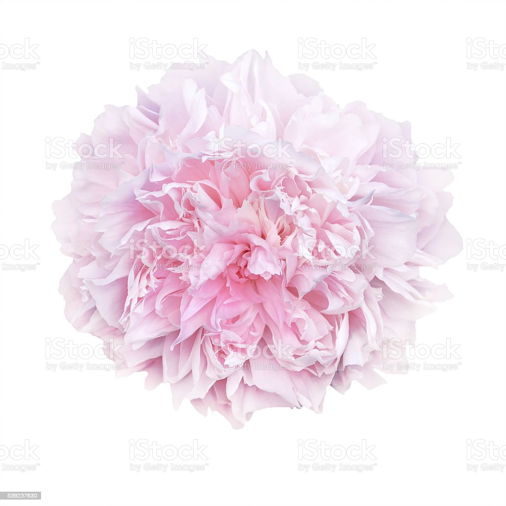 pale pink peonies isolated on white background royalty-free stock photo