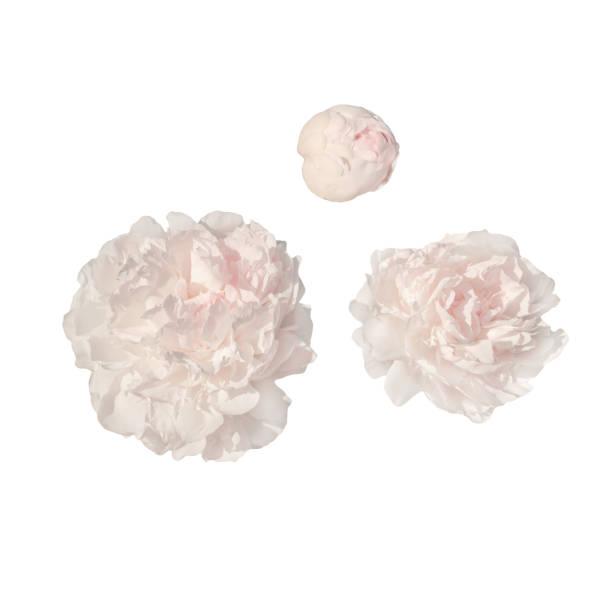 Pale pink peonies picture id825150510?b=1&k=6&m=825150510&s=612x612&w=0&h=mplwlcfjzg y2mynrqon8skacn1r6arbgu8xfm bzau=