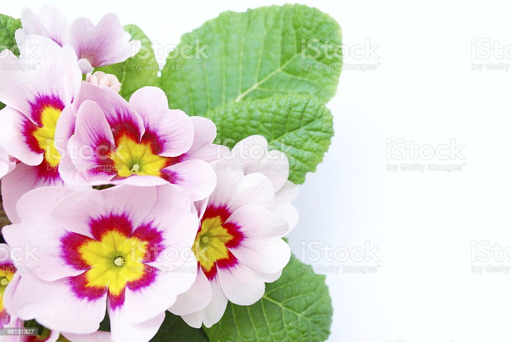 Pale pink primula royalty-free stock photo