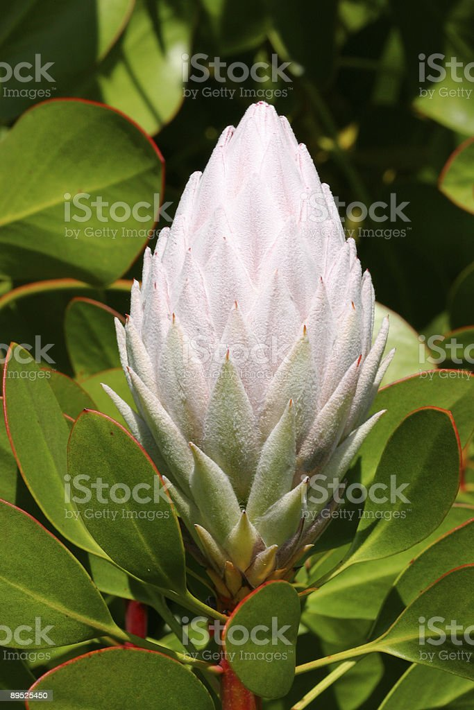Pale Pink Protea Cynaroides royalty-free stock photo