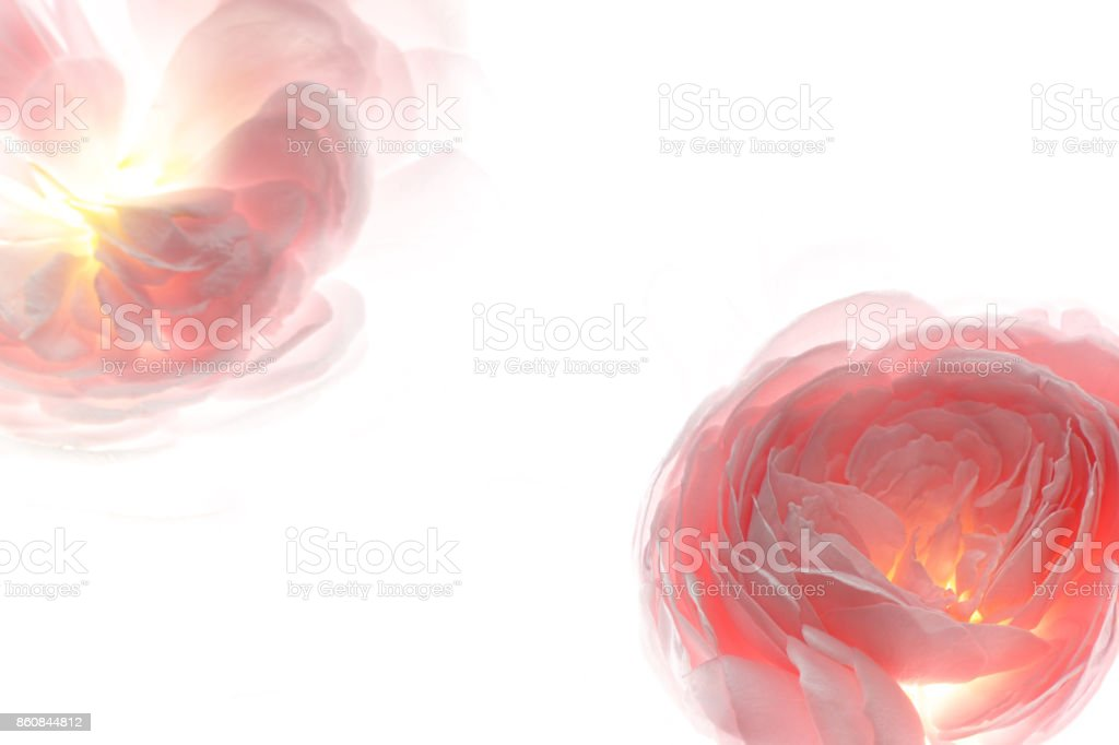 Pale pink rose flower blossom and petals background 2 stock photo