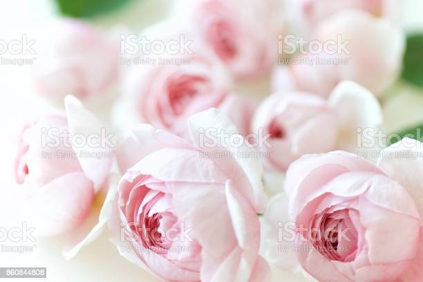 Pale pink rose flower blossoms background 1 picture id860844808?b=1&k=6&m=860844808&s=612x612&h=1jd7r7zlhj0clzvvylk d0yrecb4xo8isyu4xjuk99o=