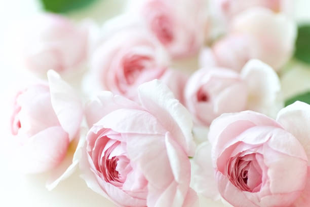 Pale pink rose flower blossoms background 1 stock photo