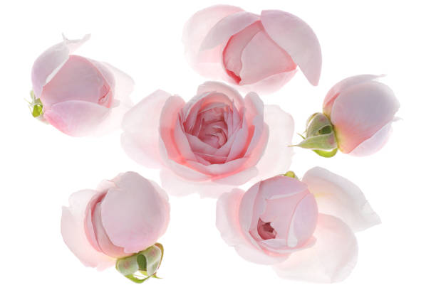 Pale pink rose flower blossoms background 5 stock photo