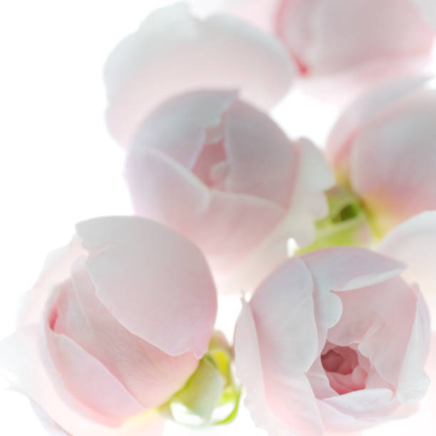 Pale pink rose flower blossoms background 6 stock photo