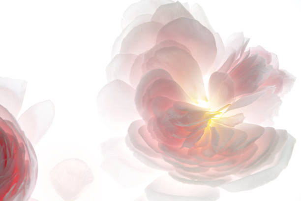 Pale pink rose flower petals background 1 stock photo