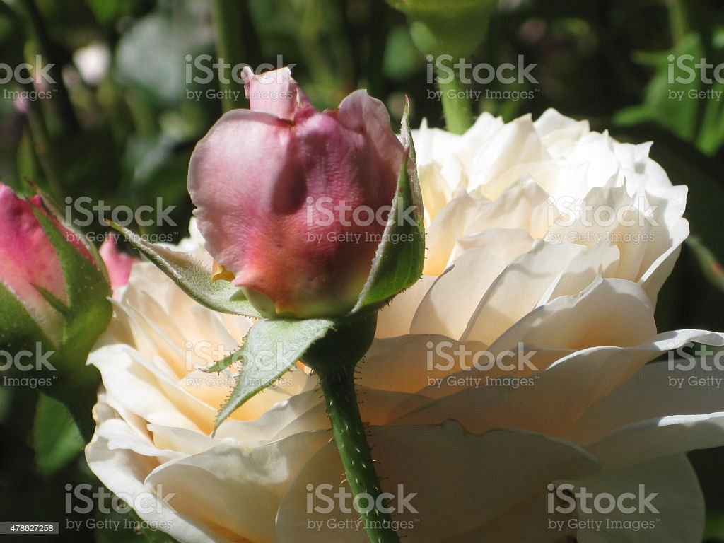 Pale Pink Rose Framed by Yellow Rose in Full Bloom stock photo
