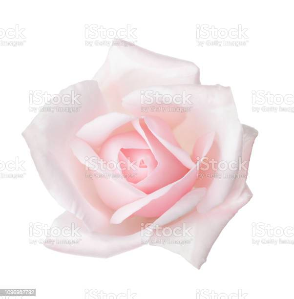 Pale pink rose isolated on white background picture id1096982792?b=1&k=6&m=1096982792&s=612x612&h=a37rpcjkaek79lzyfsob7dipwgd7d6rhvxxuakc7gcc=