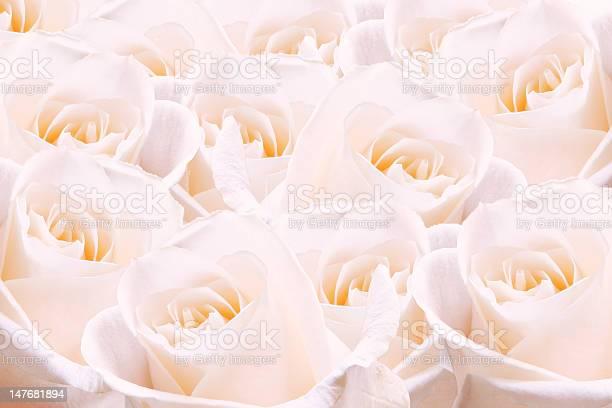 Pale pink roses picture id147681894?b=1&k=6&m=147681894&s=612x612&h=ovwt tb4ej72b6nvdw0hhxf0hbai3gtuukyklprzbh4=
