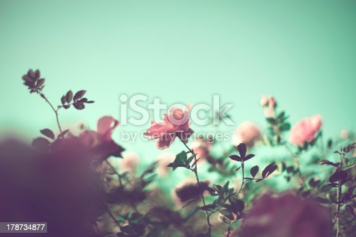 istock Pale pink roses 178734877