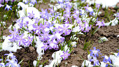 Pale pink snowdrops with a blue tint chionodoxa closeup with green leaves and partially covered with freshly fallen snow. Natural background