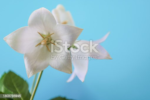 Pictured pale purple balloon flower in a blue background.