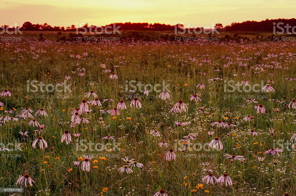 Pale Purple Coneflowers, Daisy Fleabane, and Coreopsis, Sunrise, Flanagan Prairie stock photo