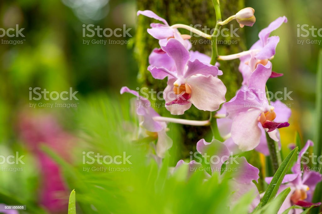 pale purple orchids in jungle leaves in foreground singapore stock