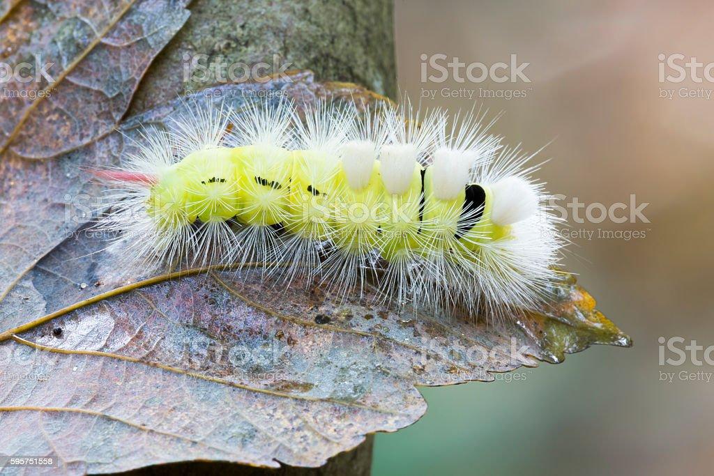 Pale Tussock caterpillar (Calliteara pudibunda) stock photo