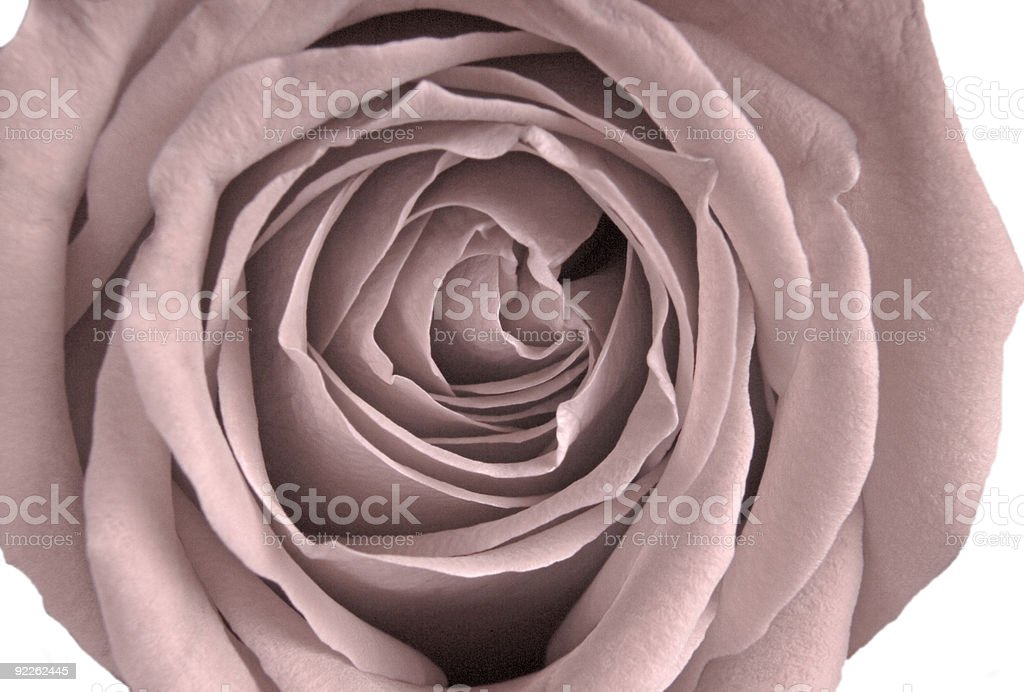 Pale Victorian Rose royalty-free stock photo
