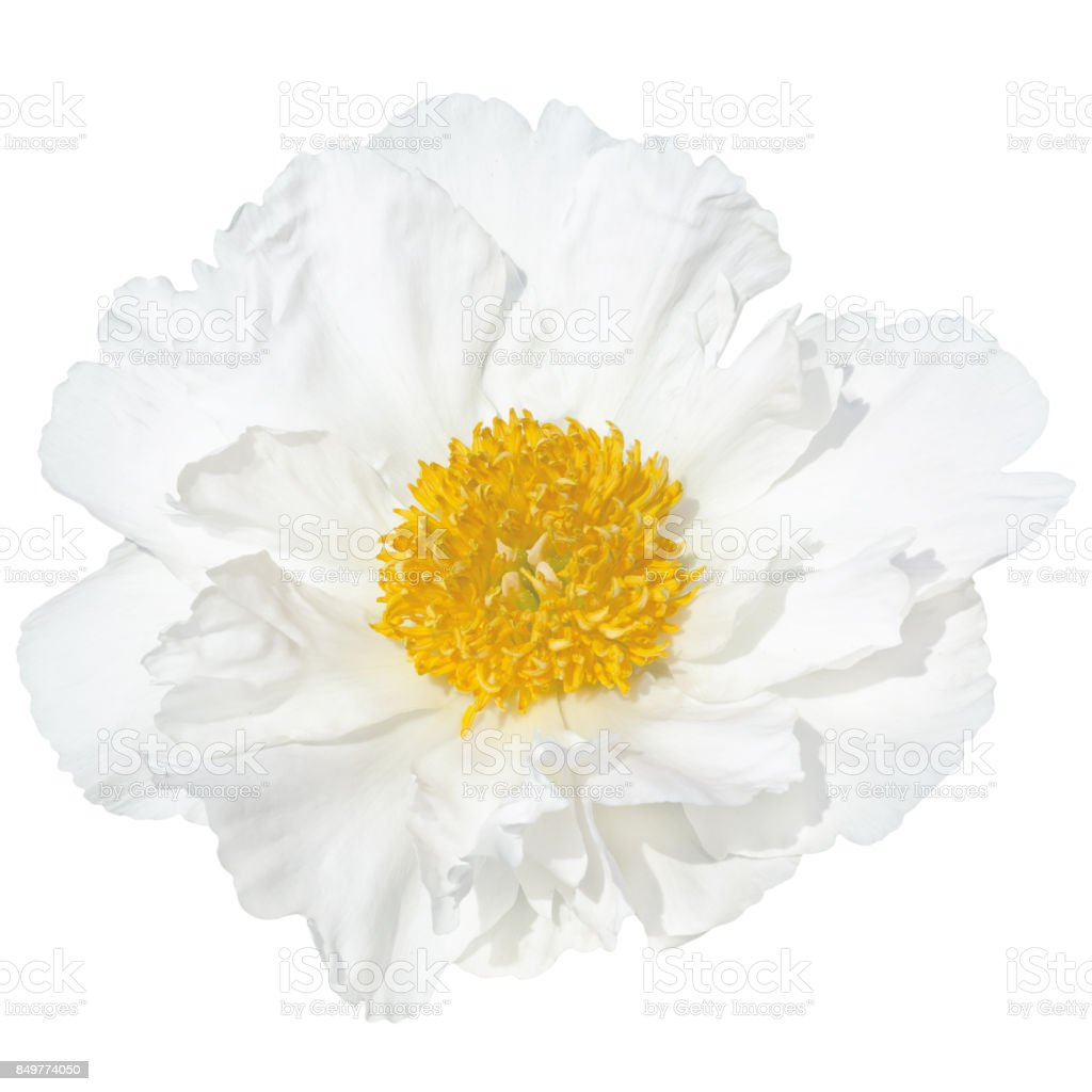 Pale white peonie yellow middle of a flower i stock photo more pale white peonie yellow middle of a flower i royalty free stock photo mightylinksfo