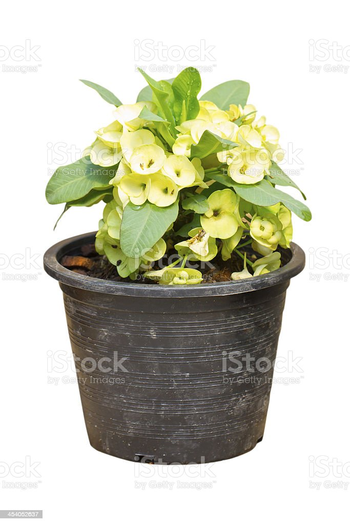 Pale yellow crown of thorns flower, Euphorbia milli Desmoul. royalty-free stock photo