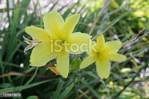 pale yellow flower in the garden