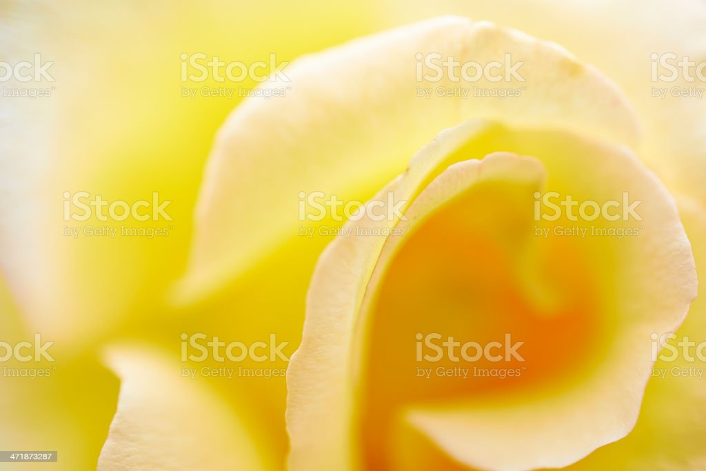 Pale Yellow Rose royalty-free stock photo