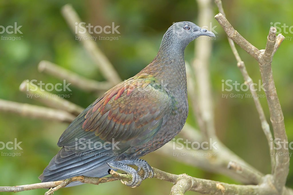 Pale-capped Pigeon royalty-free stock photo
