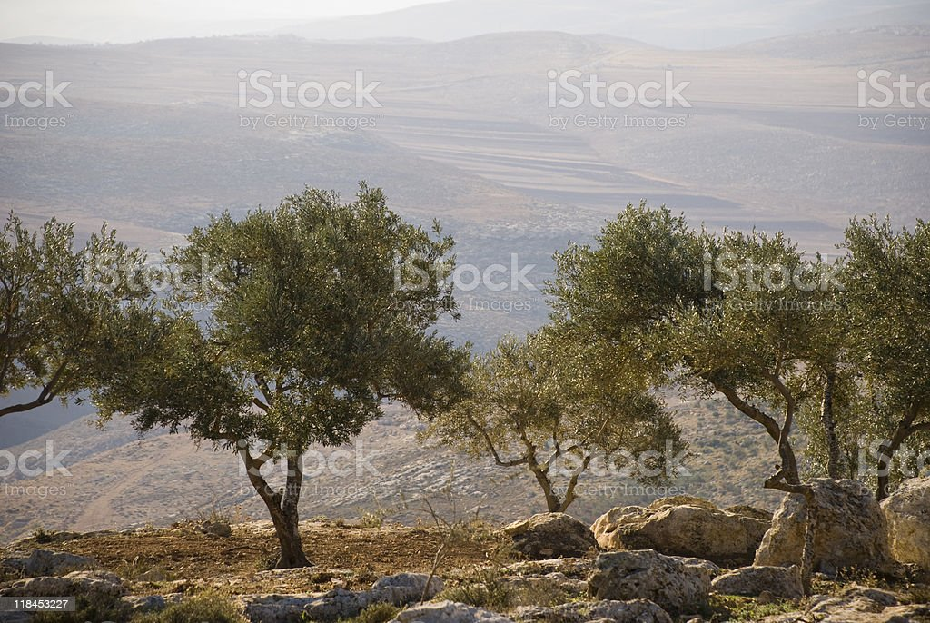 Landscape with olive trees in Palestine stock photo