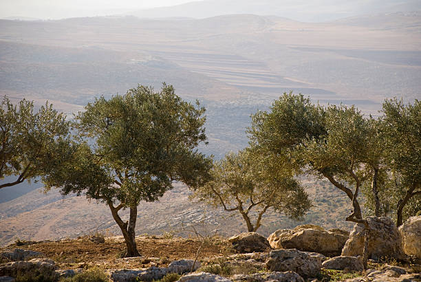 Landscape with olive trees in Palestine Palestinian landscape with olive trees in the northern West Bank historical palestine stock pictures, royalty-free photos & images