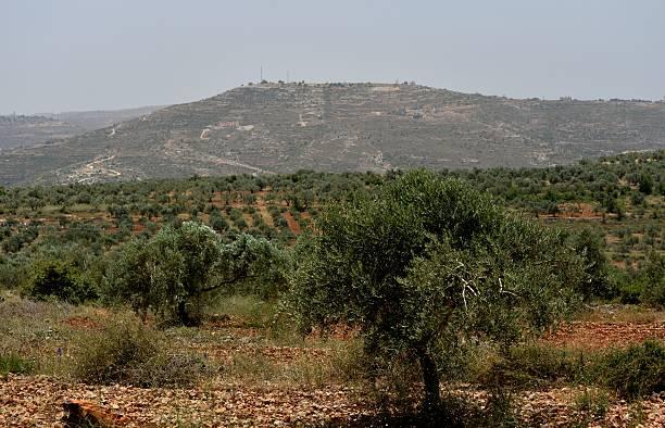 Palestiniens oliviers plantation près de Ariel - Photo