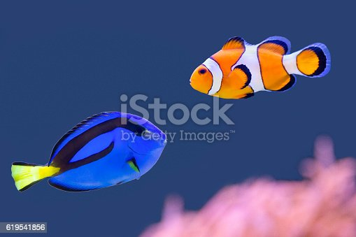 Palette surgeonfish and clown fish swimming together in blue water. These two beautiful fishes have very bright and striking colors. I saw these animals in an aquarium  and I photographed them through the glass. Concept of beauty, beautiful, wildlife, pets, colors, colorful, colourful, colours, nature, striking, outstanding.