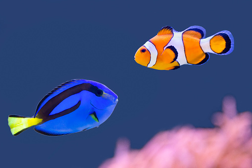 istock Palette surgeonfish and clown fish swimming together 619541856