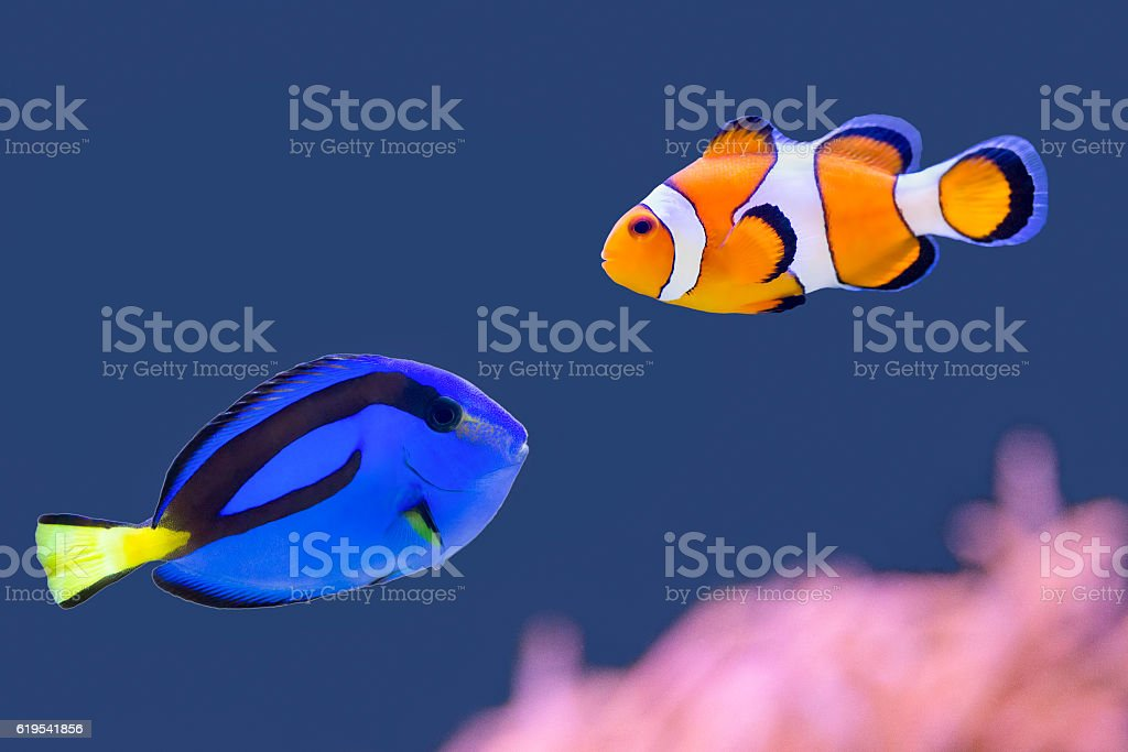 Palette surgeonfish and clown fish swimming together stock photo