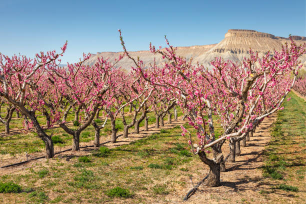 Palisade Peach Blossoms stock photo
