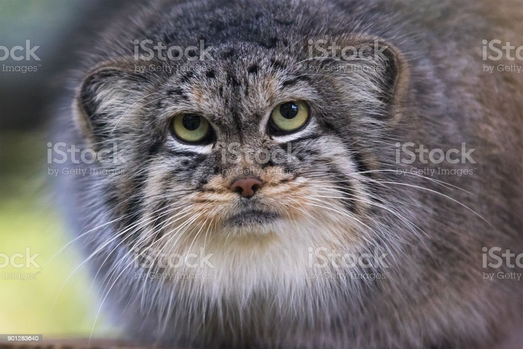 Pallas cat stock photo
