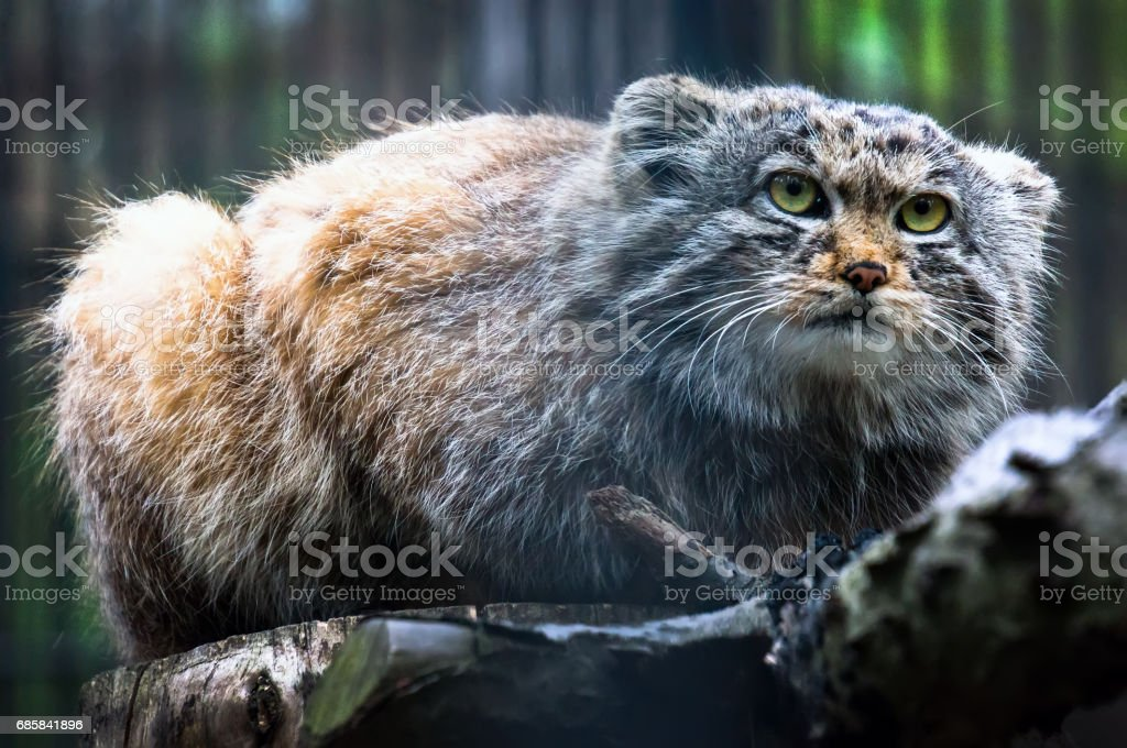 Pallas's cat, or manul, lives in the cold and arid steppes of central Asia. stock photo