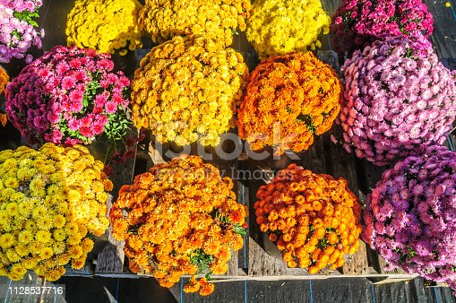 Colorful fall mums rest on a wooden pallet in individual pots.  Shot from directly above.