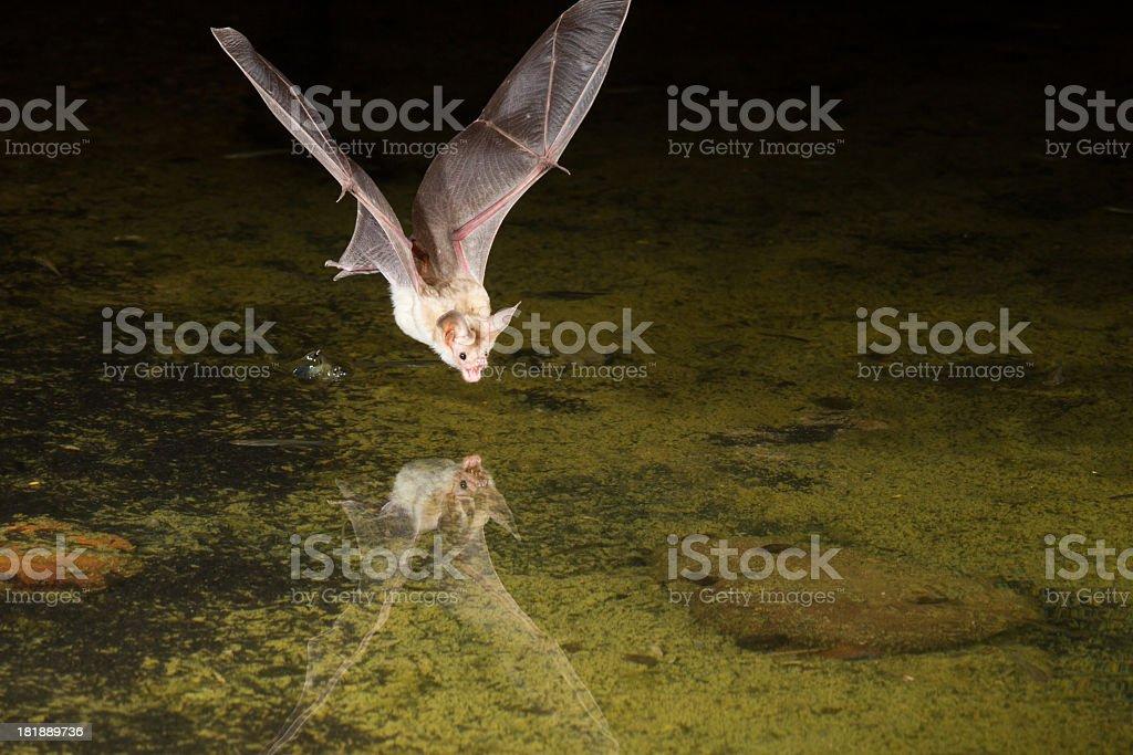 Pallid Bat stock photo