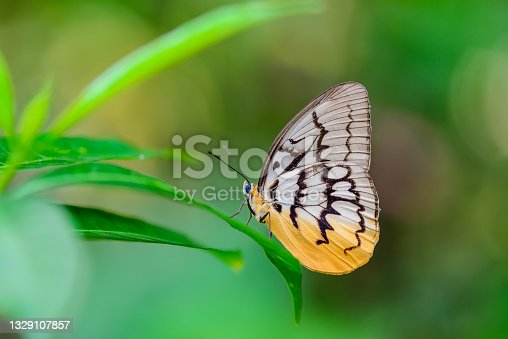 istock Pallid Faun Butterfly Species in Thailand. Beauty in nature of beautiful butterfly at suck and eating dew on leaf outdoors in natural wild. 1329107857