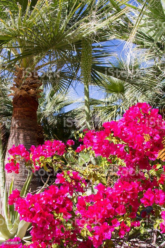 Palm and Bougainvilla stock photo