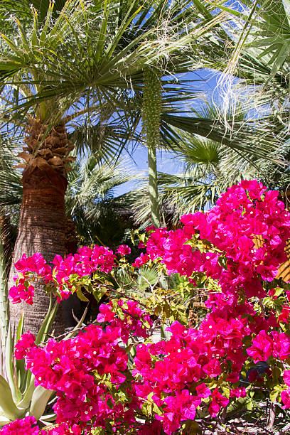 palm and bougainvilla - spring stock photos and pictures