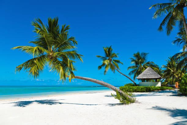 Palm at tropical paradise beach at canareef resort maldives herathera picture id941687036?b=1&k=6&m=941687036&s=612x612&w=0&h=tqdw2oftxu0d6zziqw7xgojrxif22ji97uudvupdsco=
