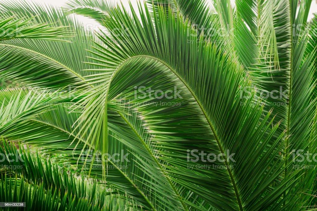 Ramo de palmeira. Folhas de uma palmeira, close-up. - Foto de stock de Abstrato royalty-free