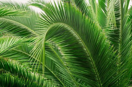 Foto de Ramo De Palmeira Folhas De Uma Palmeira Closeup e mais fotos de stock de Abstrato