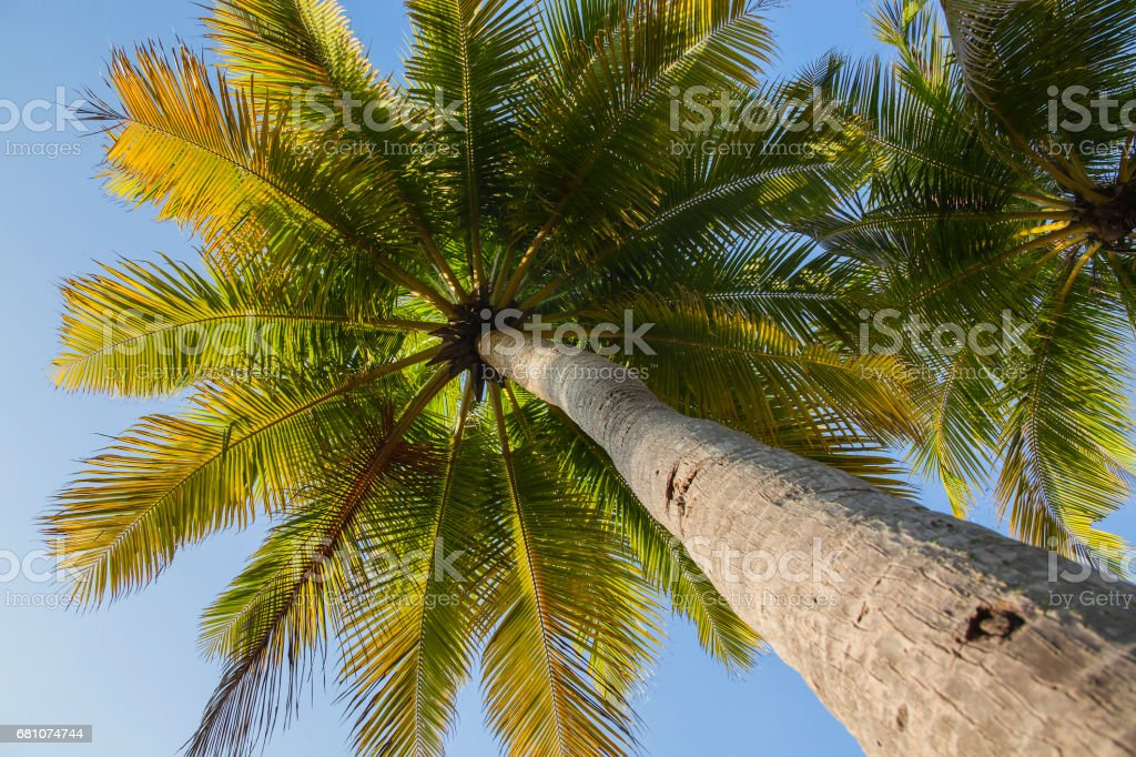 Palm crown against clear blue sky royalty-free stock photo