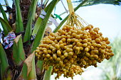 Date fruits in the clusters whit palm tree