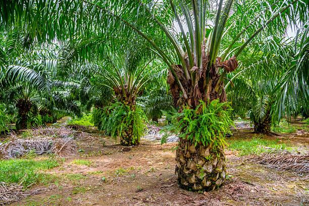 Palm Farm stock photo